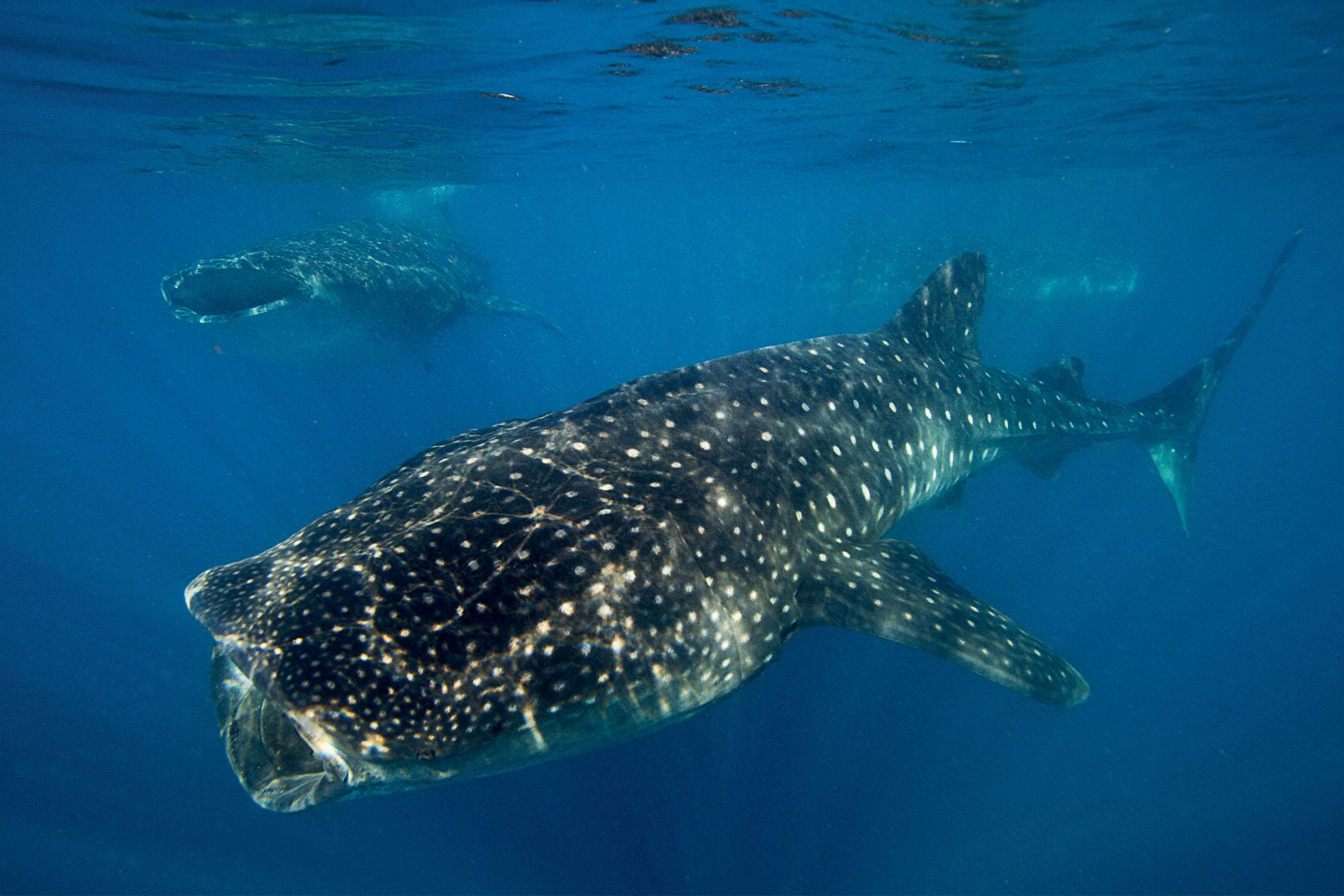 Oris Aquis GMT Date Whale Shark